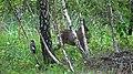 Roe deer and the jay.jpg