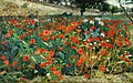 Rolshoven field-of-poppies.jpg