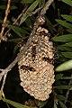 Ropalidia plebeiana (23695283680).jpg