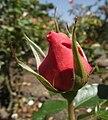 Rosa-overthemoon2.jpg