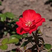 Rosa 'Isabel Renaissance' (d.j.b) 02.jpg