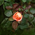 Rosa 'Lady Emma Hamilton' in Nuthurst West Sussex England.jpg