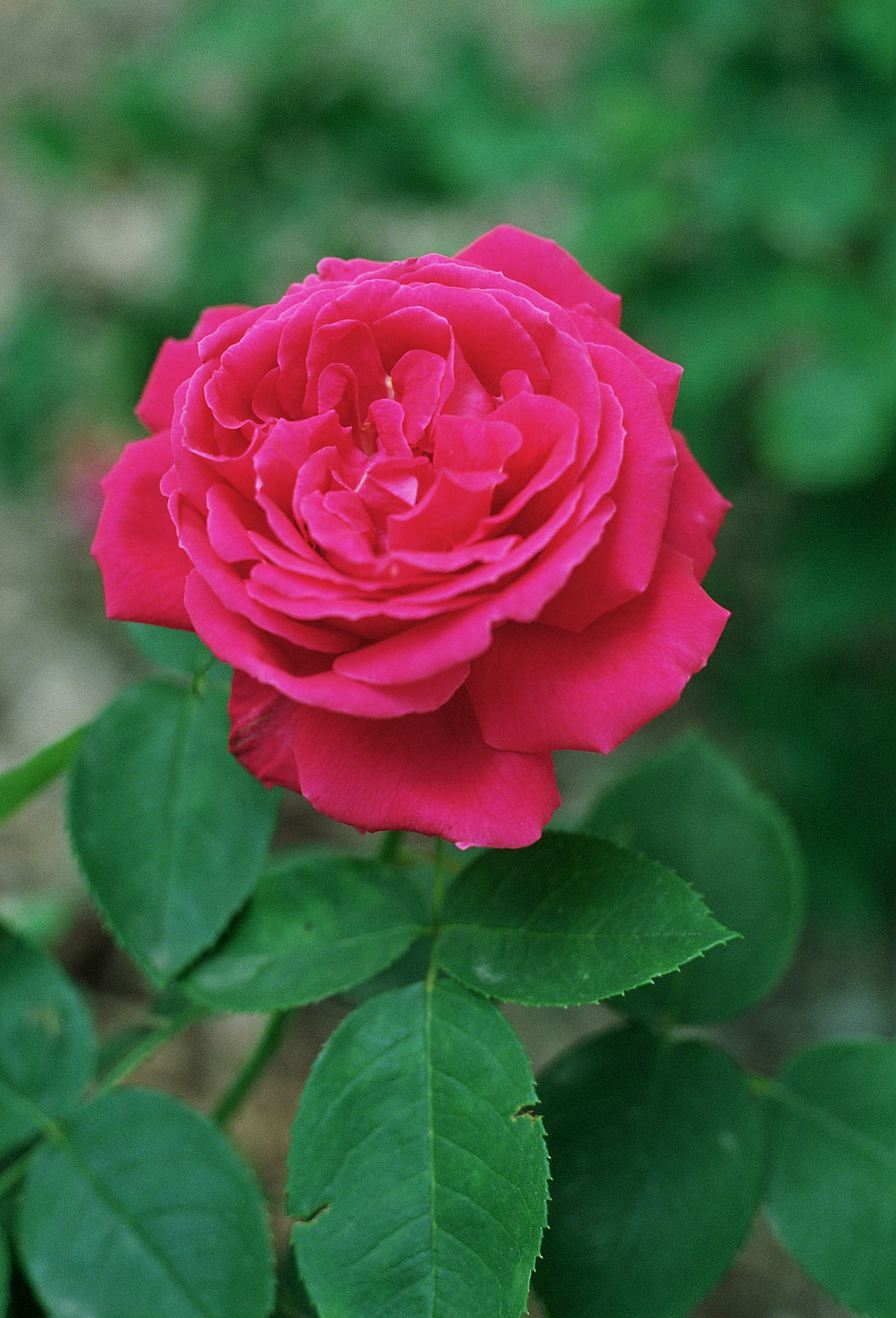 Image Result For Roses On Birthday
