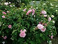 Rosa Gertrude Jekyll 2019-06-07 1363.jpg