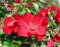 Rosa Robusta 1.jpg