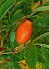 Rosa centifolia 003.JPG