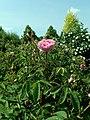 Rosa centifolia var. muscosa 2019-06-04 5454.jpg