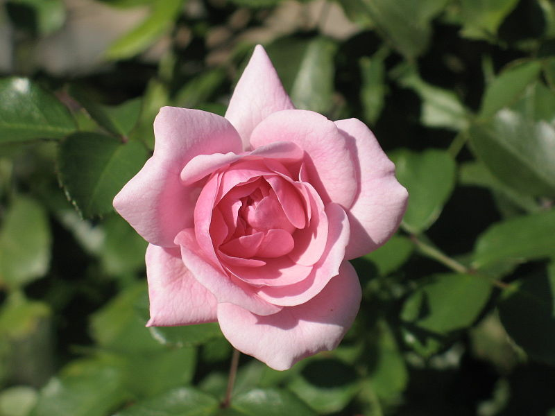 file rosa cultivar bonica 82 3 jpg wikimedia commons. Black Bedroom Furniture Sets. Home Design Ideas