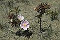 Rosa spinosissima inflorescence (63).jpg