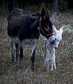 Ânesse et son petit
