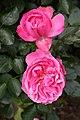 Rose Leonard de Vinci 20070601.jpg