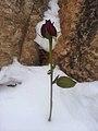 Rose in the snow (8484172342).jpg