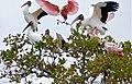 Roseate Spoonbills (Platalea ajaja) and Wood Storks (Mycteria americana) (29069653206).jpg