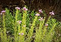 Rosebay Willowherb. Chamerion angustifolium (44869355945).jpg