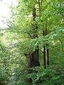 Rotbuche im Isseltal (Hoch-Weisel) 09.JPG