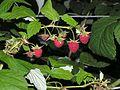 Rubus idaeus20100818 264.jpg