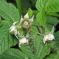 Rubus idaeus 2 RF.jpg