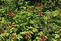 Rubus phoenicolasius 5449878.jpg