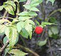 Rubus rosifolius - El Yunque nat park PR IMG 2030.JPG