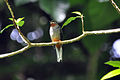 Rufous-throated Solitaire.jpg
