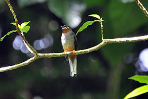 Rufous-throated solitaire - Image: Rufous throated Solitaire