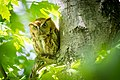 Rufous morph Eastern Screech-Owl (Megascops asio) (17196316403).jpg