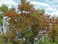 Russet Bushwillow (Combretum hereroense) (13625165263).jpg