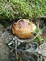 Russula foetens 91759505.jpg
