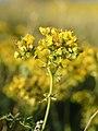 Ruta chalepensis (flowers).jpg