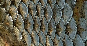 Lateral line - Some scales of the lateral line (center) of a Rutilus rutilus.