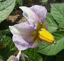 S. tuberosum-flor-1.JPG