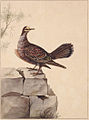 SLNSW 797155 f 15 Golden Winged Pigeon.jpg