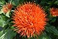 Saffolwer orange.jpg