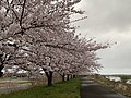 Sakura, Kajikawa River, Shibata, Niigata, Japan, April 2019.jpg