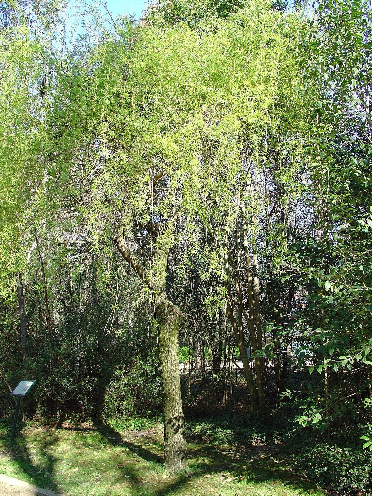 Salix babylonica re.JPG