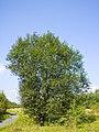 Salix caprea 036.jpg