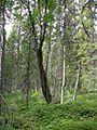 Salix caprea Boreal.jpg