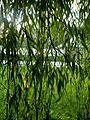 Salix chrysocoma (9).JPG