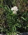 Sambucus ebulus PID1995-1.jpg