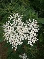 Sambucus nigra inflorescence.JPG