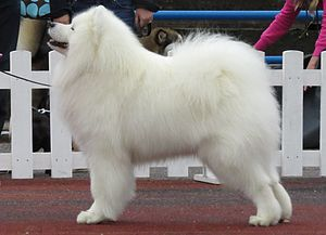 Samoyed dog - Samoyed