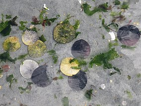 Sand dollars on Miracle Beach.jpg