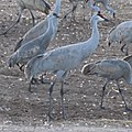 Sandhill Crane in New Mexico.jpg