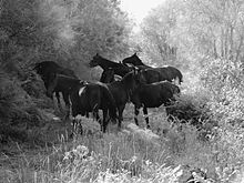 Sanfratellani horses.jpg
