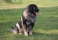 Sarplaninac male dog Muri Emír.jpg