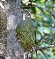 Satin Bowerbird. Female. Ptilinorhynchus violaceus - Flickr - gailhampshire (1).jpg