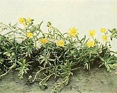 Saxifraga aizoides WFNY-082B-5x4.jpg
