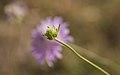 Scabiosa atropurpurea, bud, Sète 01.jpg
