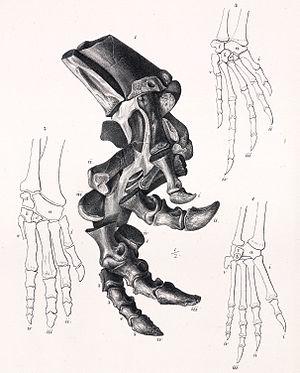 Scelidosaurus - Leg of S. harrisonii