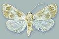 Schacontia medalba male - ZooKeys-291-027-g001-1.jpeg